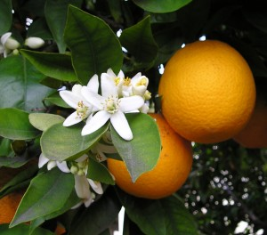 oranges and blossom